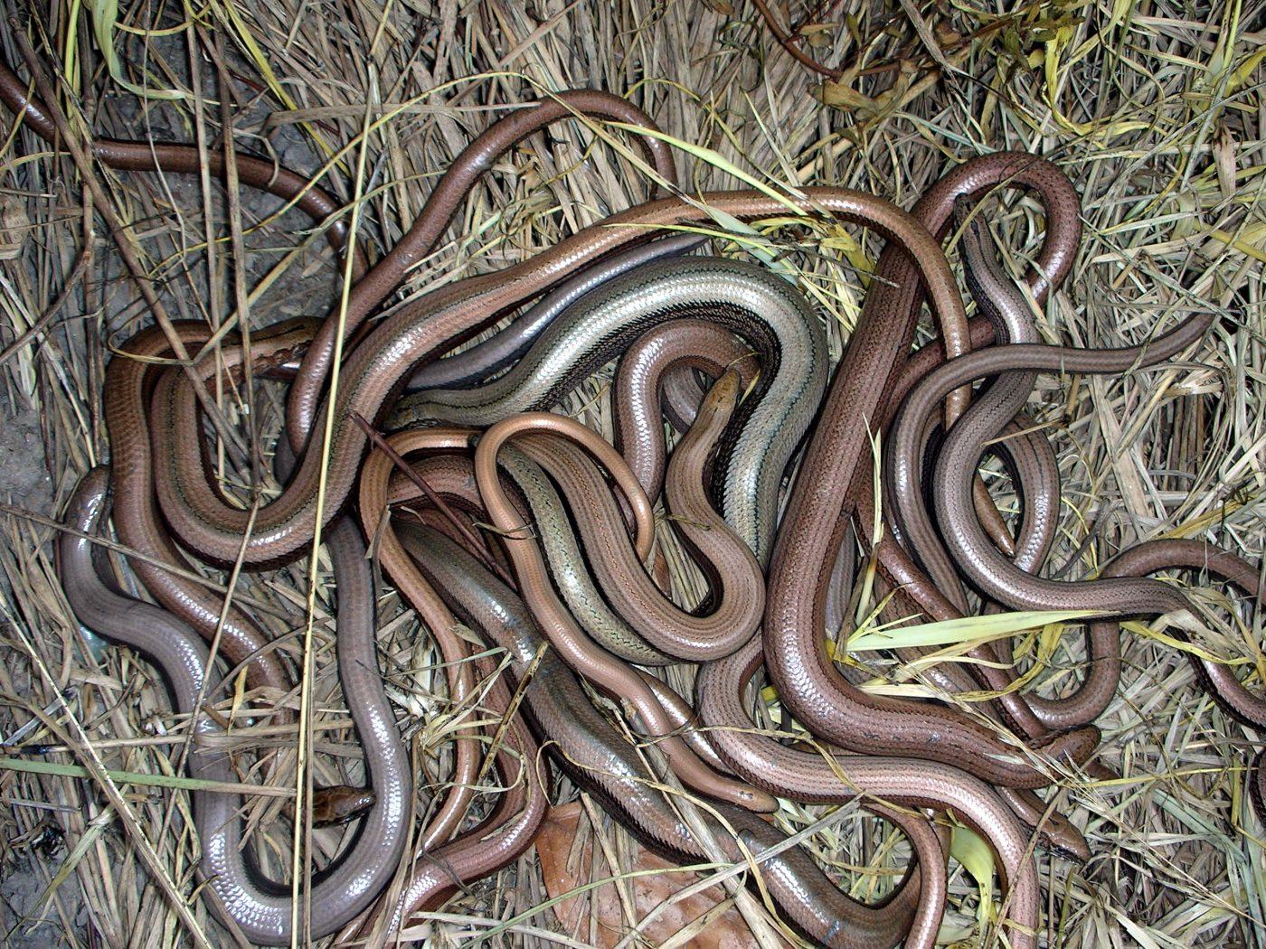Slow Worm Krag